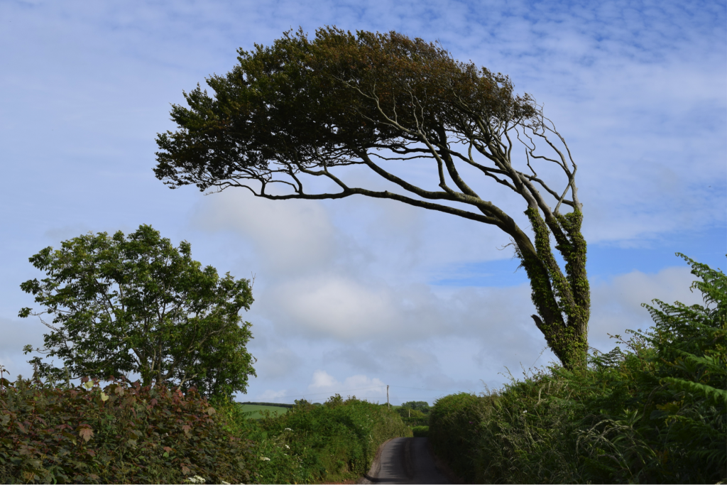 Combed trees in South Devon (photo: Mathew Stiller-Reeve)