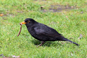 Common_Blackbird_(turdus_merula)