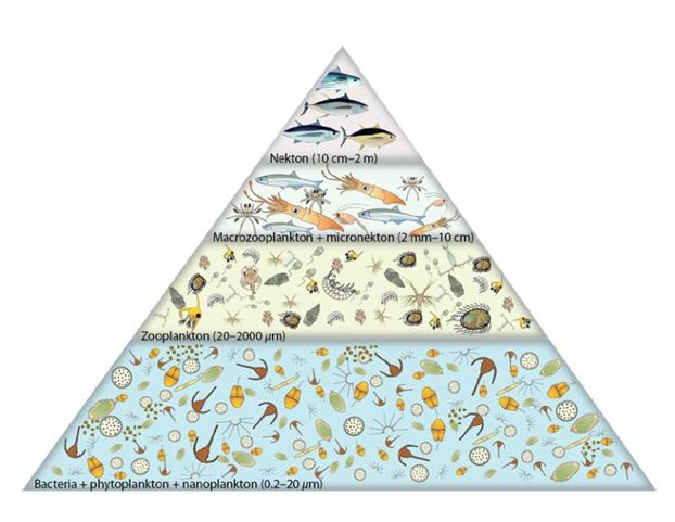 Figure 1. Generalised trophic pyramid for the tropical Pacific Ocean (from Bell et al. (eds) 2011)