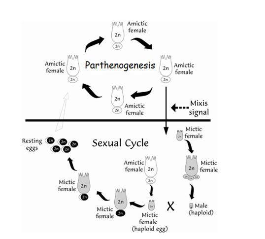 Figure 2. The life cycle of the zooplankton species Brachionus plicatilis (from Denekamp et al., 2009)